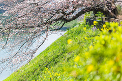 Spring is around us 一片花飛減卻春 (Sharleen Chao) Tags: 千鳥ヶ淵 花見 染井吉野櫻 桜 桜並木 日本 東京 春 canon 5dmarkiii 100mm day japan tokyo sakura cherryblossoms spring boating travel 櫻花 賞櫻 千鳥之淵 白天 ソメイヨシノ prunusyedoensis yoshinocherry 半藏濠 半藏門 英國大使館