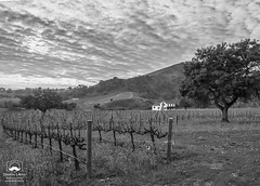 White House in the Vineyard (allentimothy1947) Tags: califonia henryroad landscape napacounty otherkeywords barn clouds earlyspring grass green hdr hills house pano trees vines vineyard vineyards