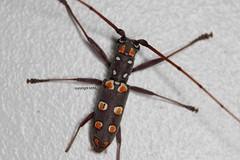 painted beetle (Phil Arachno) Tags: cambodia coleoptera arthropoda cerambycidae kambodscha käfer bockkäfer siemreap