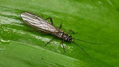 stonefly (David_W_1971) Tags: jow2019 plecoptera