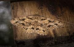 Cleora repetita (dustaway) Tags: australia australianwildlife insecta lepidoptera geometridae ennominae geometridmoth geometermoth cleorarepetita australianmoths australianinsects victoriaparknaturereserve alstonvilleplateau dalwood northernrivers nsw nature