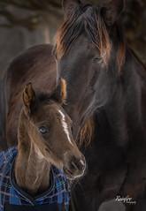 A Mothers Love (Rainfire Photography) Tags: rockymountainhorses horse foal love animal pet nikon
