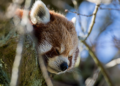 Its a hard life (Mibby23) Tags: red panda ailurus fulgens animal mammal wildlife nature whipsnade zoo canon 5dmk4 sigma 150600mm contemporary