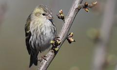 Eurasian Siskin (Carduelis spinus) female (festoon1) Tags: bird siskin eurasiansiskin carduelisspinus lincolnshire olympus garden