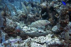 Yellowfin groupers (Jeff Mitton) Tags: natureturneffe atoll belize yellowfingrouper mycteropercavenenosa parrotfish bluechromis scuba underwater marine tropical reef coral fish earthnaturelife wondersofnature