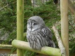 Great Grey Owl, Highland Wildife Park, Kincraig, Mar 2019 (allanmaciver) Tags: great grey owl highland wildlife park kincraig scotland sitting quet markings bird wise allanmaciver