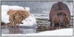 Busy as a Beaver (Note-ables by Lynn) Tags: beaver animal handganimalsonly algonquinpark