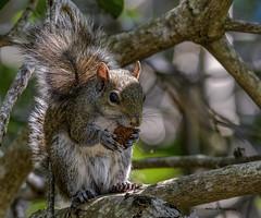 Grey squirrel(male) (Mike_FL) Tags: greysquirrelmale secretwoodsnaturecenter outdor photograph park nikon nikond7500 nature tamron100400