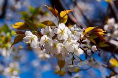 Cherry blossoms 'Cerasus jamasakura' : 桜花(ヤマザクラ) (Dakiny) Tags: 2019 spring april japan kanagawa yokohama aoba aobaku aobaward