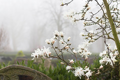 White Magnolias in the mist - Spring 2019 (Wilma v H- running behind a bit Sorry!) Tags: magnolias mist misty fog foggy flowers whiteflowers begraafplaatsdeessenhof essenhofcemetery dordrecht plants trees luminositymasks tkactionsv6panel canoneos60d sigma35mmf14lens dof springscenics springflowers spring 2019 spring2019 nederland netherlands outdoors