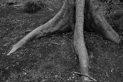 20190306 Tokyo 5 (BONGURI) Tags: 東京都 日本 jp bw monochrome blackandwhite 白黒 モノクロ モノクローム tree foot dinosaur 足 樹木 樹 木 恐竜 japanesegarden japanesepark 日本庭園 rikugien rikugienpark 六義園 bunkyo bunkyocity 文京 文京区 tokyo 東京 sony rx100m3