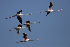 Five Fine Flamingos Flying Furiously (Chris Bainbridge1) Tags: phoenicopterus roseus greater flamingo in flight algarve portugal olhao