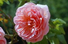 Ach, wann find ich endlich Ruh? (amras_de) Tags: rose rosen ruža rosa ruže rozo roos arrosa ruusut rós rózsa rože rozes rozen roser róza trandafir vrtnica rossläktet gül blüte blume flor cvijet kvet blomst flower floro õis lore kukka fleur bláth virág blóm fiore flos žiedas zieds bloem blome kwiat floare ciuri flouer cvet blomma çiçek