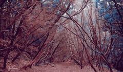 The Blue Path [explored] (gjaviergutierrezb) Tags: nature blue forest magic tenerife mount naturaleza azul bosque