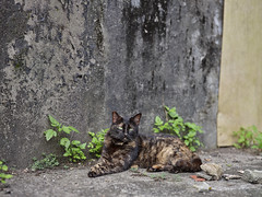 GFX50S__DSF2360_C1 (Bazoka+Cynthia) Tags: cat 小婆 新北市 猴硐 瑞芳區 貓