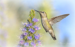 Huntington Beach Central Park 4.13.19 7 (Marcie Gonzalez) Tags: 2019 secret garden hummingbird hummingbirds hummer hummers fly fast wing midair mid air sunlight soft bird birds purple stem flower flowers branch branches nature wildlife huntington beach central park parks gardens california socal southern so cal ca calif usa america orange county pretty sweet humming wings small beautiful north animal marcie gonzalez marciegonzalez marciegonzalezphotography photography canon united states huntingtoncentrapark huntingtoncentralpark
