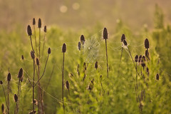 Misty Summer Morning (nadeen_aljamal88) Tags: nature natural landscaoe landscapes view views wild wildlife spider spiderweb spiderwebs macro macrophotography canada canadian ontario beautiful morning sunrise mist misty sun sunshine