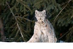 Watching You Watching Me (Megan Lorenz) Tags: canadalynx canadianlynx lynx cat feline wildcat animal mammal snow winter nature wildlife wild wildanimals northernontario ontario canada mlorenz meganlorenz