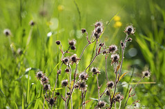Stems of purple avens (Geum rivale) illuminated by the morning sun (Dmitriy'Os'Ivanov) Tags: spring geumrivale purpleavens meadow nature countryside bokeh bokehphotography bokehgroup beautiful plants flora flowers illuminated shining гравилатречной растения природа боке утро красивый флора pentaxk5 pentaxda55mmf14