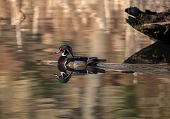 Swimming in gold (JD~PHOTOGRAPHY) Tags: duck woodduck ducks waterfowl water reflection northamericanbirds wild wildlife nature canon canon6d