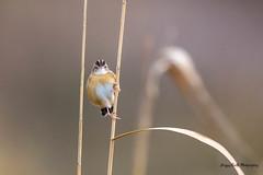 Cisti Circus (Jacques GUILLE) Tags: oiseau domainedesoiseaux cisticoledesjoncs 09 ariège cisticolajuncidis cisticolidés mazères passériformes zittingcisticola bird