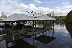 DSC6861 (Starcadet) Tags: orlando alligator krokodil gator gatorland florida glades sumpf zoo hunger tiere fressen nilkrokodil aufzuchtstation
