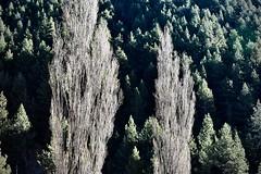 Contrast (Xevi V) Tags: barrancdelescomesderubió altpirineu bosc forest isiplou llocsambencant arbres trees pyrenees pyrénées boscos contrast rubió