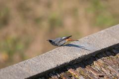 Black Redstart - Shoreham Fort (158) (Malcolm Bull) Tags: 20190120fort0158edited1web include black redstart shoreham fort bird
