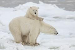 Polar bear mom and cub (Donald L.) Tags: canada manitoba churchill snow cub polar bear mom