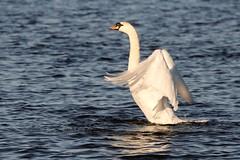 IMG_2463 (LezFoto) Tags: swan mute cygnusolor loirstonloch aberdeen scotland unitedkingdom canoneos700d sigma 700d canon 120400mmf4556dgapooshsm digitalslr dslr canonphotography sigmalens wings