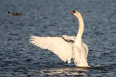 IMG_2475 (LezFoto) Tags: swan mute cygnusolor loirstonloch aberdeen scotland unitedkingdom canoneos700d sigma 700d canon 120400mmf4556dgapooshsm digitalslr dslr canonphotography sigmalens