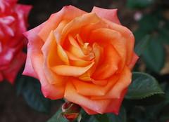 Halleluja, dich, Vater, preist (amras_de) Tags: rose rosen ruža rosa ruže rozo roos arrosa ruusut rós rózsa rože rozes rozen roser róza trandafir vrtnica rossläktet gül blüte blume flor cvijet kvet blomst flower floro õis lore kukka fleur bláth virág blóm fiore flos žiedas zieds bloem blome kwiat floare ciuri flouer cvet blomma çiçek