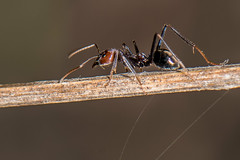 D75_7109 (crispiks) Tags: ants spider prey web death its bugs life insects macro close up nikon d750 105mm micro f28 r1c1 mount pilot national park north east victoria andersons track chiltern