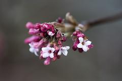 Nature Awakening (Rudi Pauwels) Tags: 2019onephotoeachday spring blossom flower macro af90 tamronmacroaf90 pink white