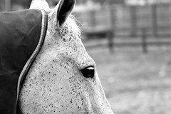horses get freckles too! (karma (Karen)) Tags: garrisonforest owingsmills maryland horses pastures dof bokeh mono bw hmbt hff topf25 cmwd e minimester19
