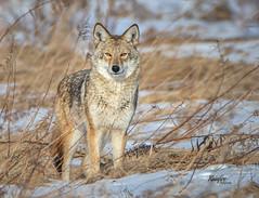 Coyote (Rainfire Photography) Tags: coyote tommythompsonpark wildlife nature park toronto downtown nikon