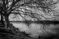 The tree (gRom62) Tags: mantova lombardia italia bianconero acqua fiume lago albero blackandwhite water river lake tree
