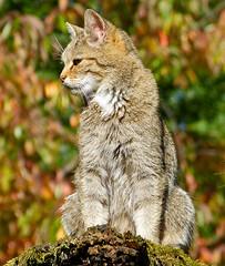 Wildkatze (anubishubi) Tags: lumixfz150 säuger säugetier raubtier beutegreifer katze wildkatze