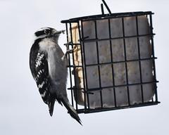 The downy woodpecker (kirsten.eide) Tags: animals outdoors birdfeeder feeder suet downy woodpecker birds d3300 nikon
