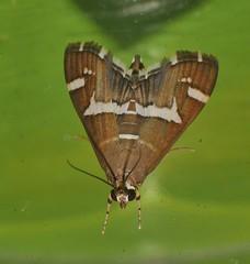 Hawaiian beet webworm moth Spoladea recurvalis Pyraustinae Crambidae Airlie Beach rainforest P1470074 (Steve & Alison1) Tags: hawaiian beet webworm moth spoladea recurvalis pyraustinae crambidae airlie beach rainforest
