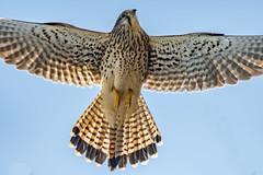 Common Kestrel (tokinotamao) Tags: 01野鳥 チョウゲンボウ 大久保町 明石市 釜谷池 兵庫県 日本 jp