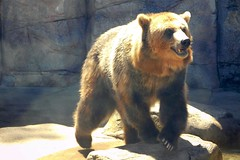 Washington Park Zoo (Tiger_Jack) Tags: washingtonparkzoo zoo zoos zoosofnorthamerica indiana animals animal bears bear nikon nikoncoolpix nikoncoolpixb500