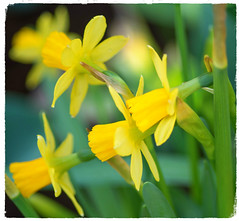 Daffodils (~DGH~) Tags: 2019 alberta canada edmonton march muttartconservatory pentaxk50 daffodils macro smcpentaxdfamacro100mmf28wr yellow ~dgh~