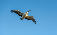 Pelican in Flight (Merrillie) Tags: woywoy waterfront bills nature water birds newsouthwales nsw brisbanewater australia wildlife flight wings feathers coastal flying outdoors animals fauna centralcoast bay pelican
