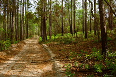 Fire Road #11A (surfcaster9) Tags: fireroad forest nature sand trees woods lumixg7 lumix20mmf17llasph outdoors florida
