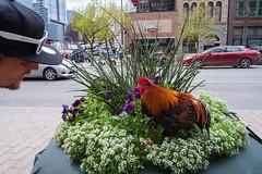 Downtown Austin Farming (-Dons) Tags: austin texas unitedstates chicken planter congressavenue flowers downtown city feather bird outdoors cap hat face man