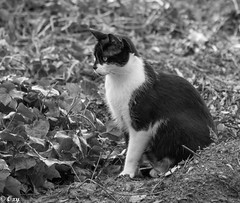 wo ist die Maus? / where is the mouse? (konstantin oxy) Tags: cat katze maus mouse tier animal search blackwhite