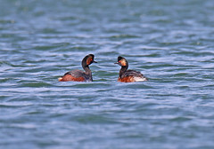 Black Necked Grebes - Michael Bird (Just call me Doc) Tags: blackneckedgrebes grebe nottinghamshire canon tamron g2 6d 150600mm lakesmatingritual golden red diving summer plumage