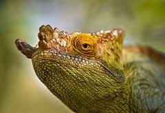 Chameleon (Rod Waddington) Tags: africa afrique afrika madagascar malagasy chameleon wild animal wildlife nature eye portrait outdoor