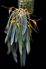 Masdevallia caesia (Rene Stalder) Tags: orchidaceae colombia kolumbien